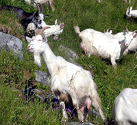 A flock of goats in Lauvdalen.